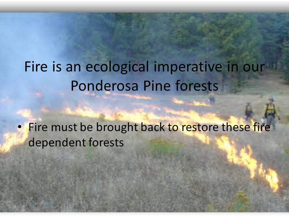 Fire is an ecological imperative in our Ponderosa Pine forests Fire must be brought back to restore these fire dependent forests