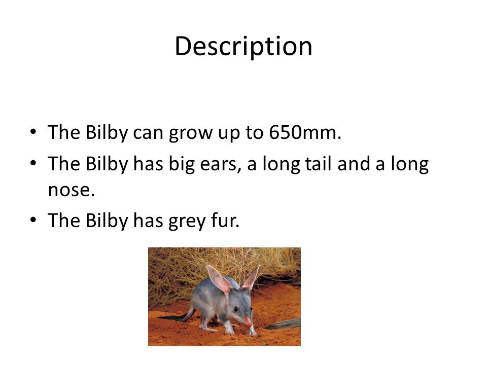 Description The Bilby can grow up to 650mm.The Bilby has big ears, a long tail and a long nose.