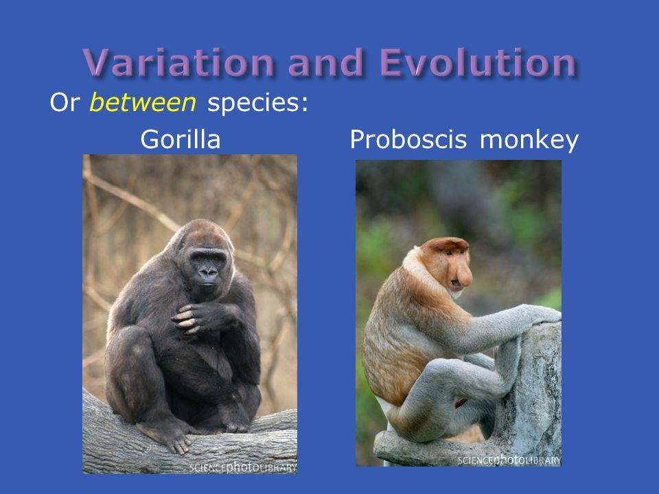 Or between species: Gorilla Proboscis monkey