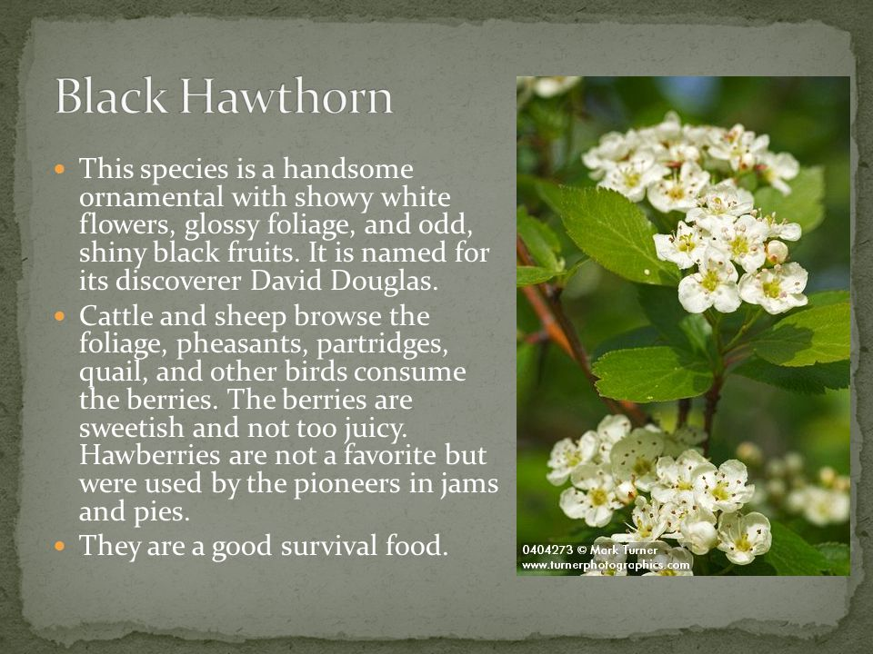 This species is a handsome ornamental with showy white flowers, glossy foliage, and odd, shiny black fruits. It is named for its discoverer David Doug