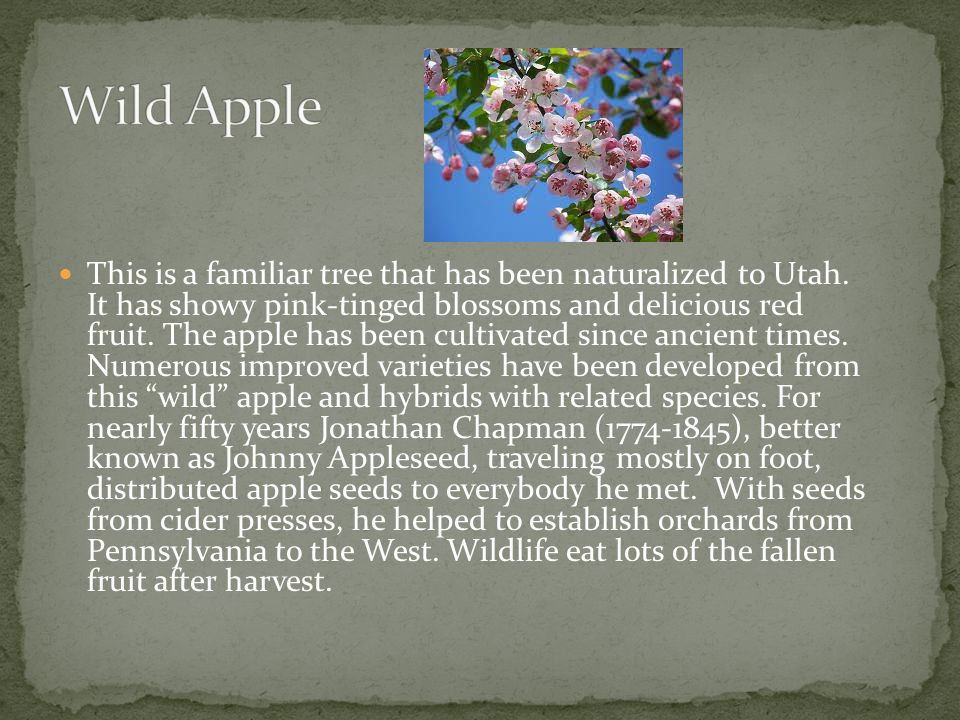 This is a familiar tree that has been naturalized to Utah. It has showy pink-tinged blossoms and delicious red fruit. The apple has been cultivated si