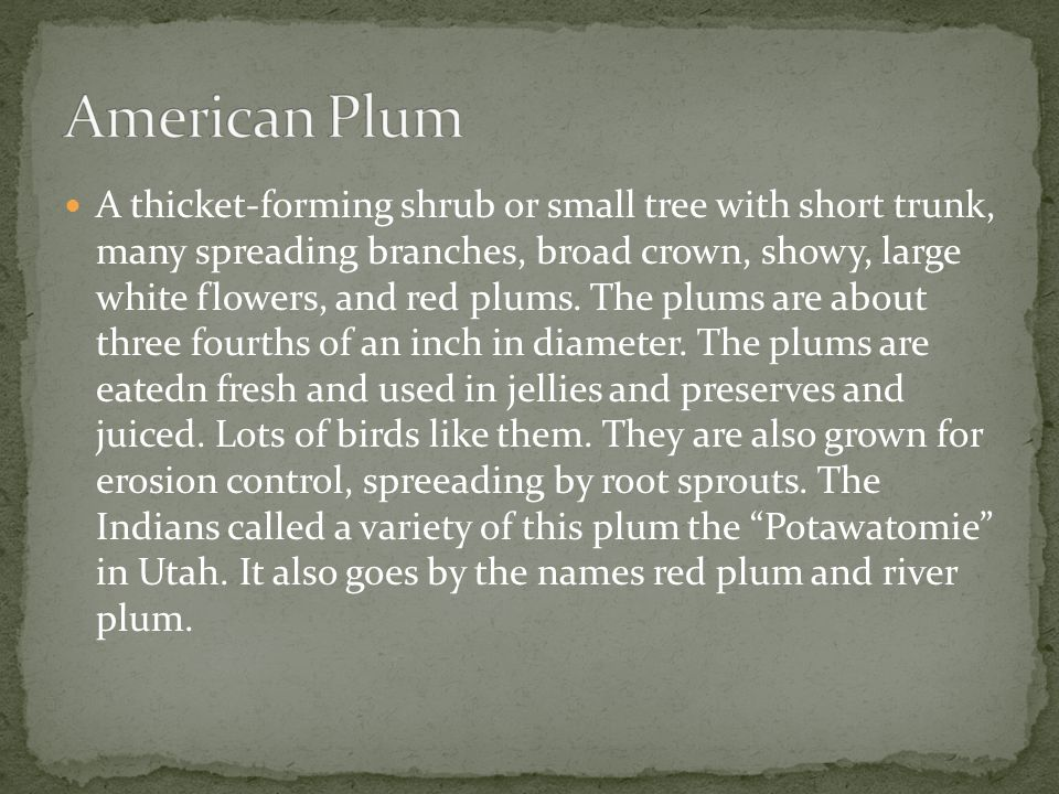 A thicket-forming shrub or small tree with short trunk, many spreading branches, broad crown, showy, large white flowers, and red plums.