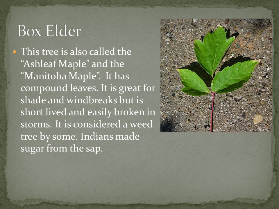 """This tree is also called the """"Ashleaf Maple"""" and the """"Manitoba Maple"""". It has compound leaves. It is great for shade and windbreaks but is short lived"""