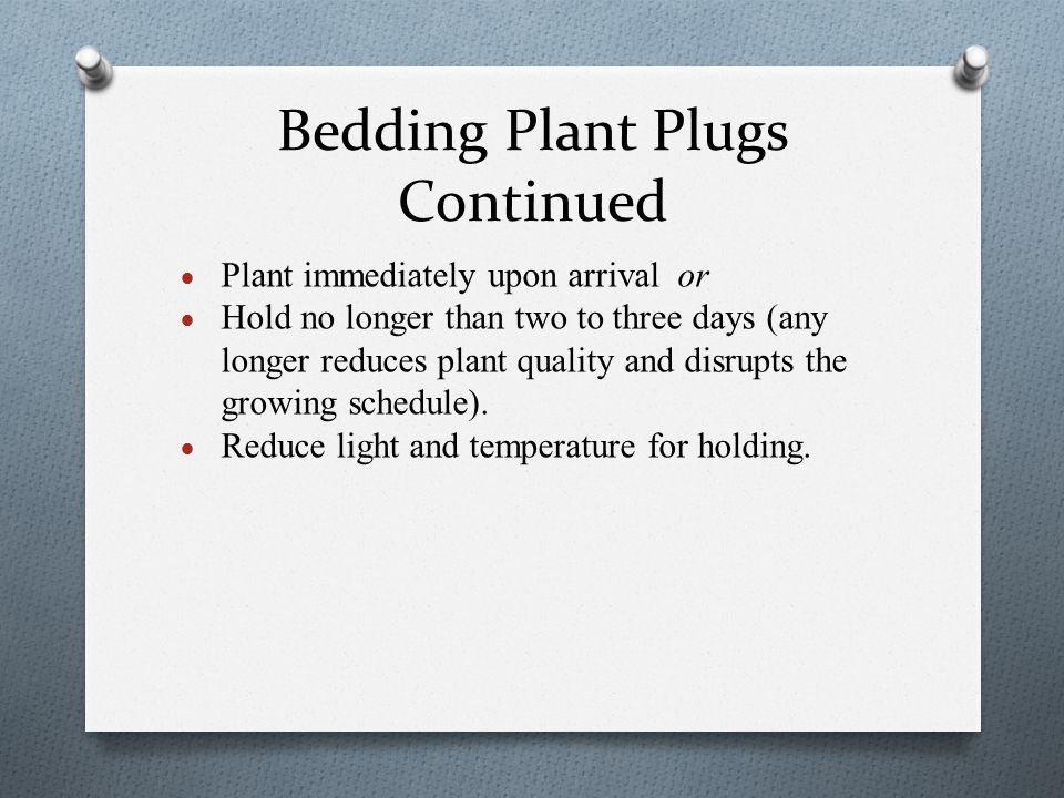 Bedding Plant Plugs Continued  Plant immediately upon arrival or  Hold no longer than two to three days (any longer reduces plant quality and disrup