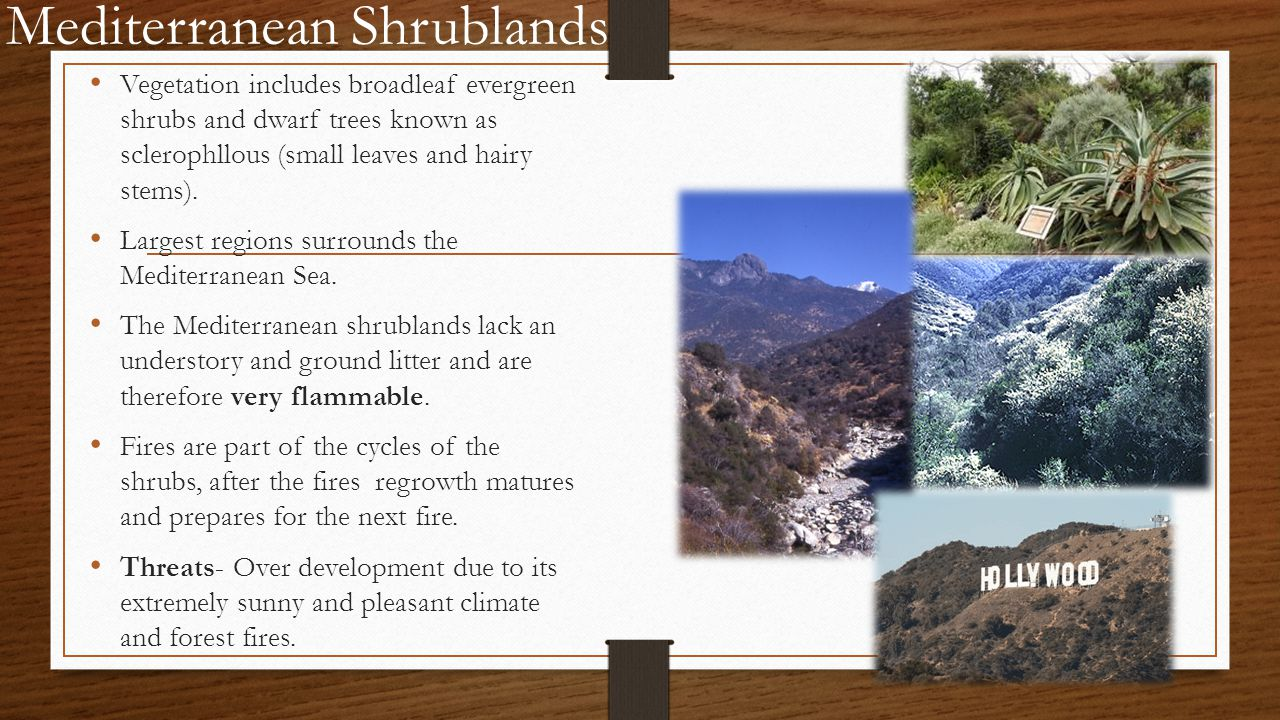 Mediterranean Shrublands Vegetation includes broadleaf evergreen shrubs and dwarf trees known as sclerophllous (small leaves and hairy stems).