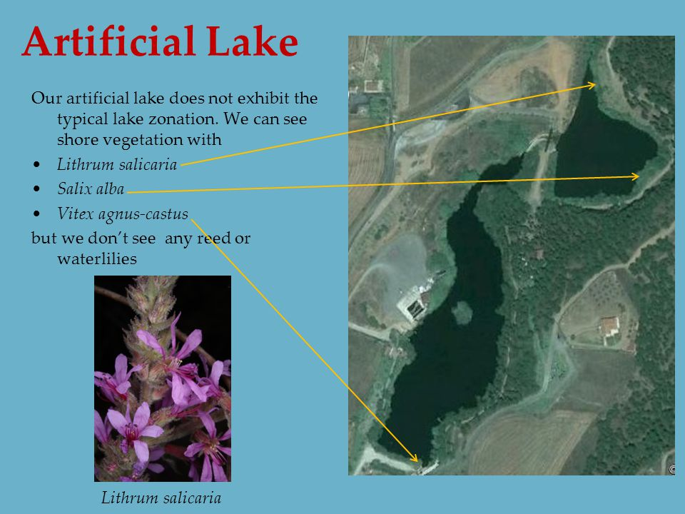 Artificial Lake Our artificial lake does not exhibit the typical lake zonation.