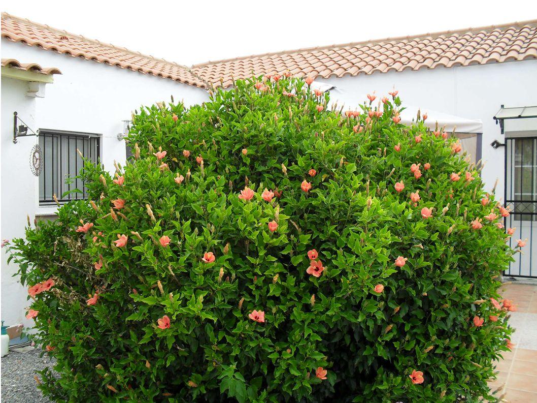 HIBISCUS SYRIACUS Malvaceae Family Aka Rose of Sharon, Althea, Hardy ...