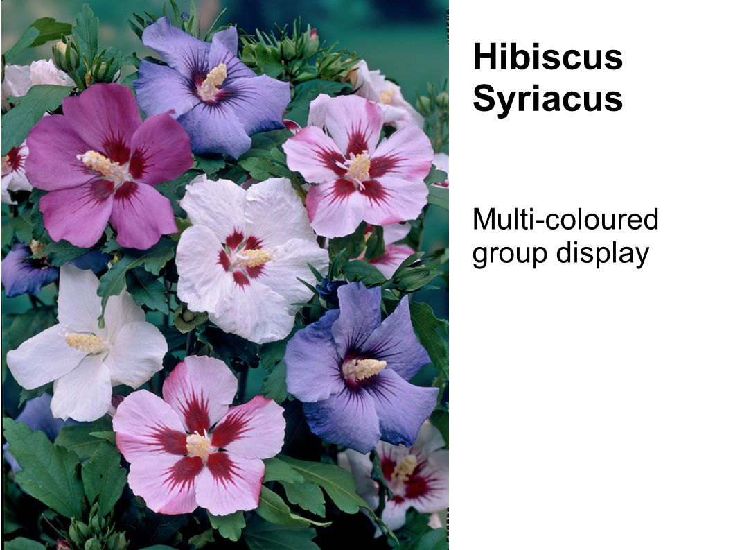 Multi-coloured group display Hibiscus Syriacus