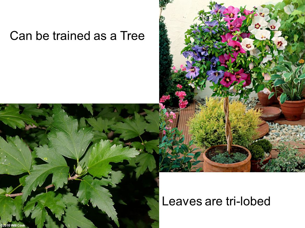 Can be trained as a Tree Leaves are tri-lobed