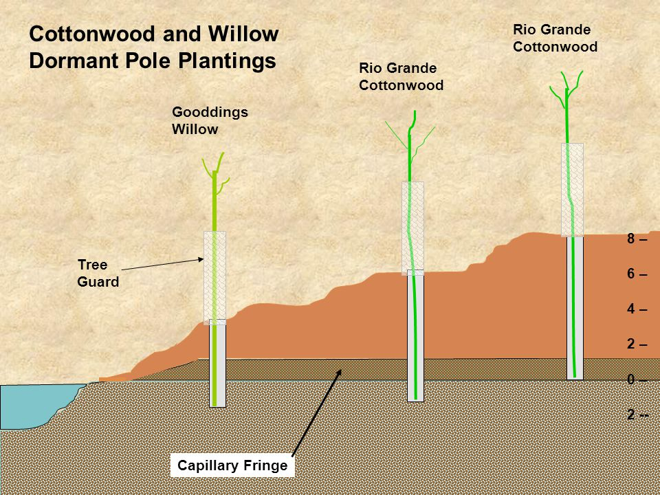 8 – 6 – 4 – 2 – 0 – 2 -- Capillary Fringe Gooddings Willow Rio Grande Cottonwood Rio Grande Cottonwood Cottonwood and Willow Dormant Pole Plantings Tr