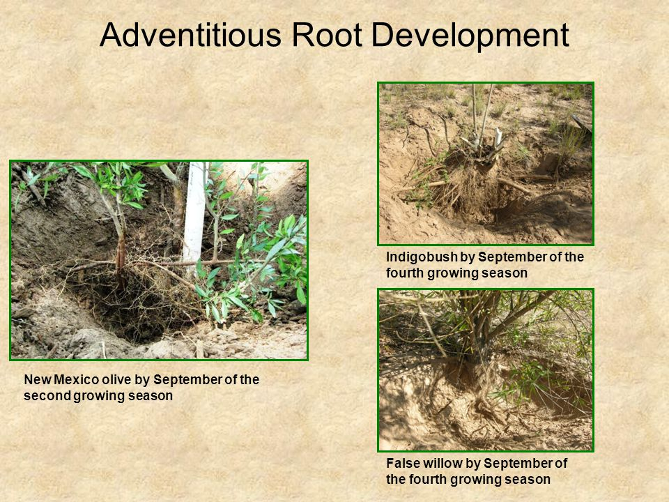 Adventitious Root Development New Mexico olive by September of the second growing season Indigobush by September of the fourth growing season False wi