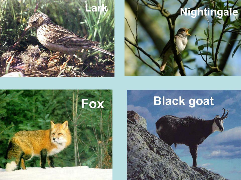 Lark Nightingale Fox Black goat