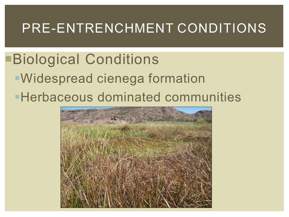  Biological Conditions  Widespread cienega formation  Herbaceous dominated communities PRE-ENTRENCHMENT CONDITIONS