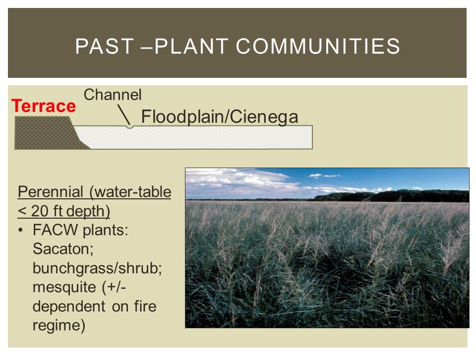 PAST –PLANT COMMUNITIES Terrace Floodplain/Cienega Channel Perennial (water-table < 20 ft depth) FACW plants: Sacaton; bunchgrass/shrub; mesquite (+/- dependent on fire regime)