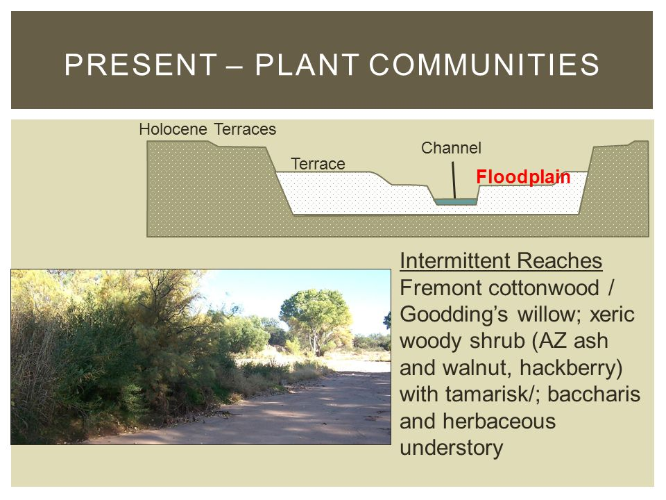 PRESENT – PLANT COMMUNITIES Holocene Terraces Terrace Floodplain Channel Intermittent Reaches Fremont cottonwood / Goodding's willow; xeric woody shrub (AZ ash and walnut, hackberry) with tamarisk/; baccharis and herbaceous understory