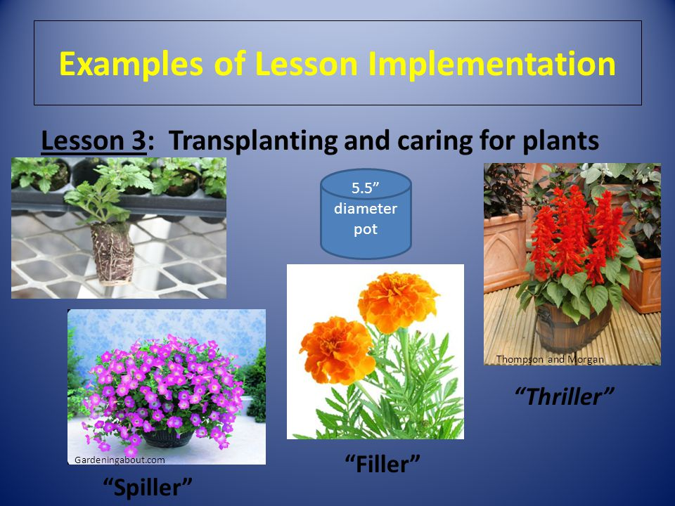 """Examples of Lesson Implementation Lesson 3: Transplanting and caring for plants 5.5"""" diameter pot """"Filler"""" Thompson and Morgan """"Thriller"""" """"Spiller"""" Ga"""