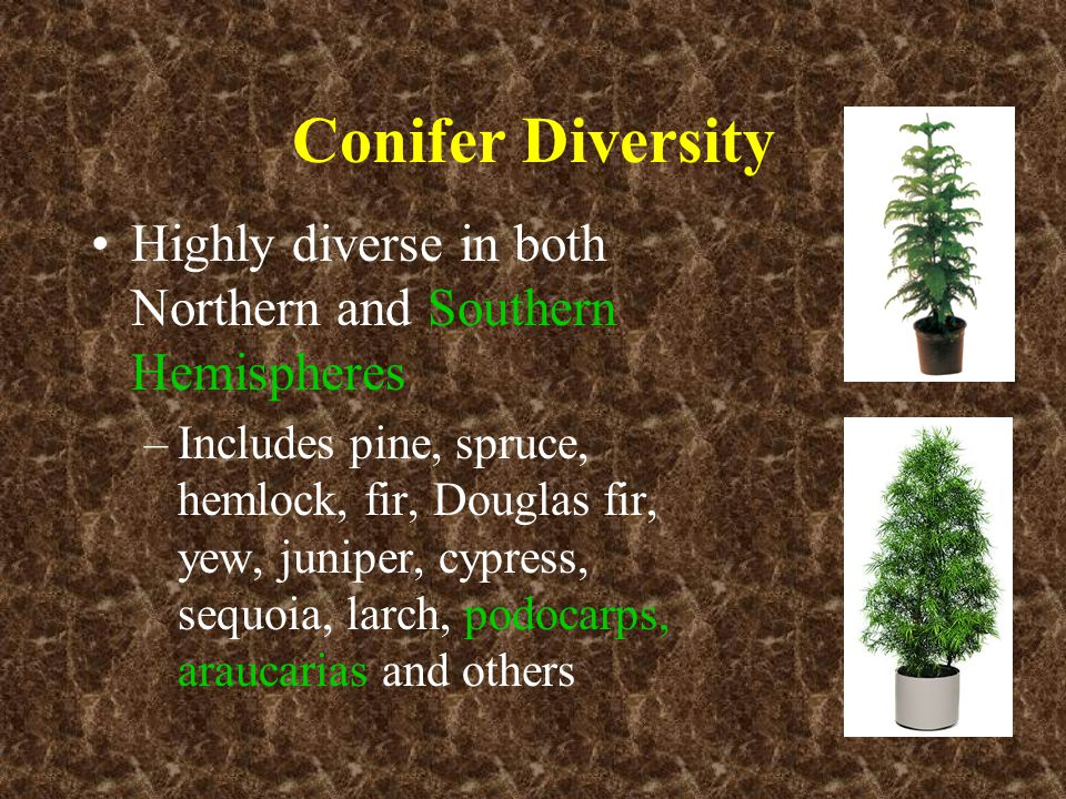 Conifer Diversity Highly diverse in both Northern and Southern Hemispheres –Includes pine, spruce, hemlock, fir, Douglas fir, yew, juniper, cypress, s