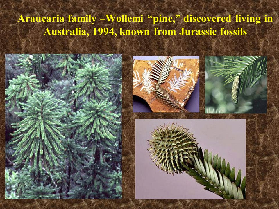 "Araucaria family –Wollemi ""pine,"" discovered living in Australia, 1994, known from Jurassic fossils"