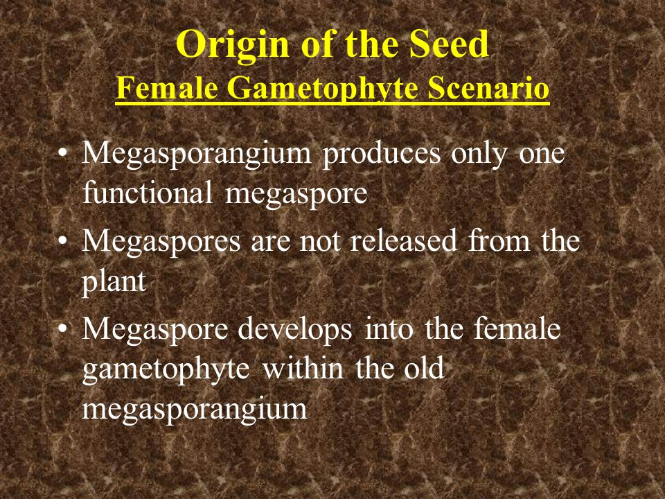 Origin of the Seed (cont.) Archegonia are formed with egg cells and fertilized in situ Embryo (new sporophyte) develops surrounded by female gametophyte tissue and old megasporangium wall (nucellus)