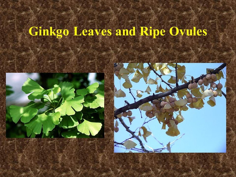 Ginkgo Leaves and Ripe Ovules