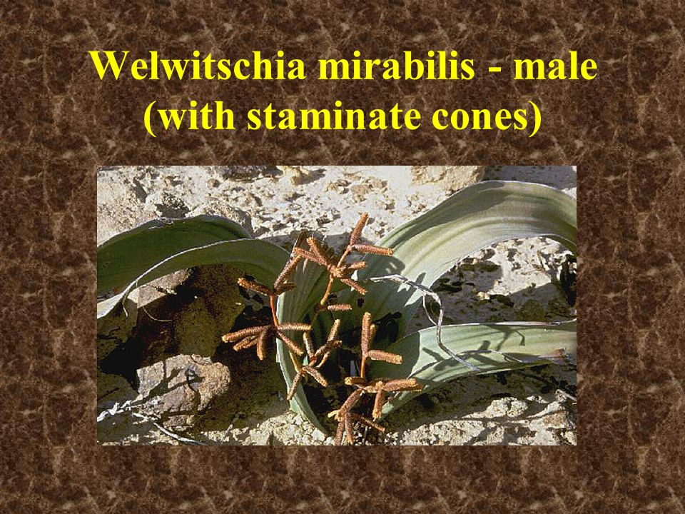 Welwitschia mirabilis - male (with staminate cones)