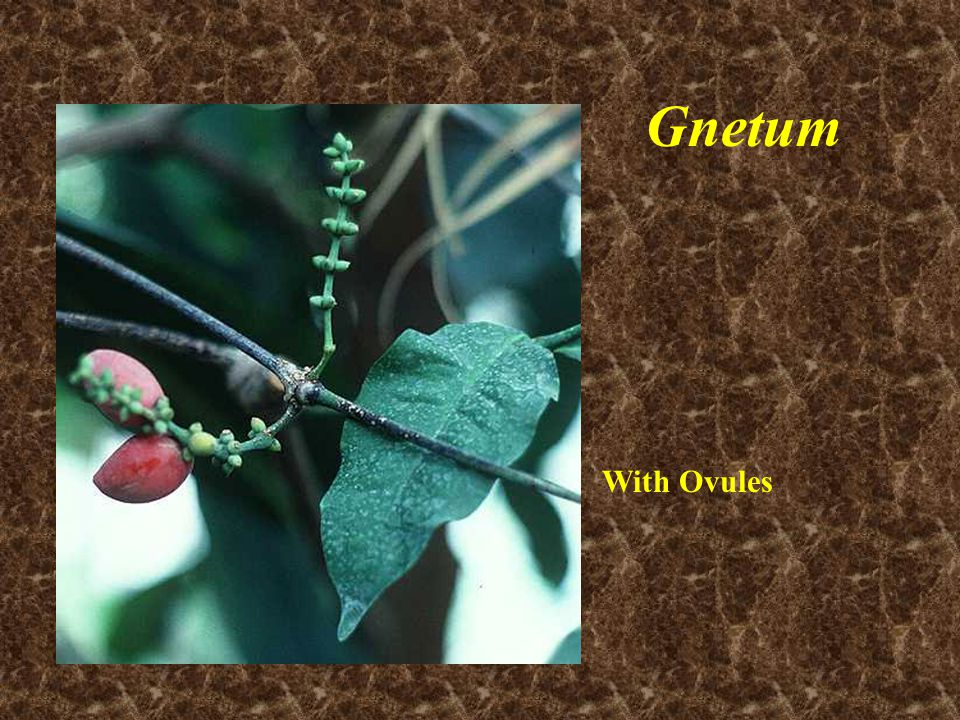 Gnetum With Ovules
