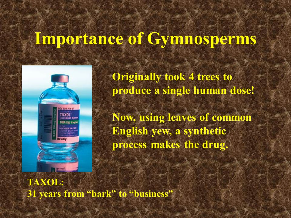 "Importance of Gymnosperms TAXOL: 31 years from ""bark"" to ""business"" Originally took 4 trees to produce a single human dose! Now, using leaves of commo"