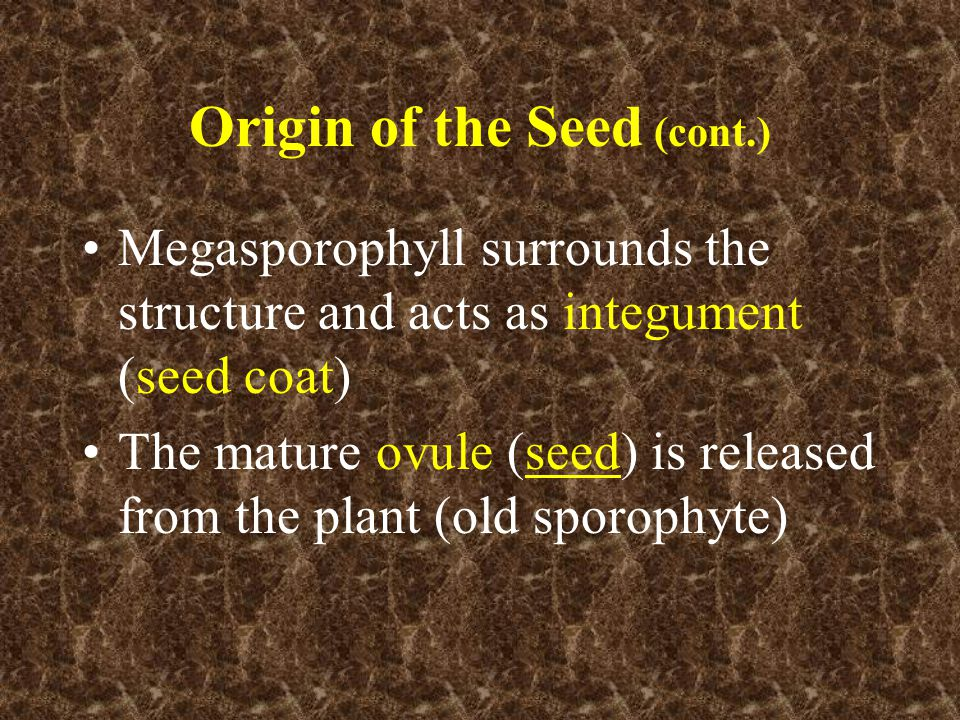 Origin of the Seed (cont.) Megasporophyll surrounds the structure and acts as integument (seed coat) The mature ovule (seed) is released from the plan