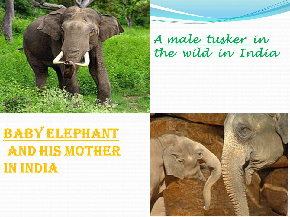 A male tusker in the wild in India Baby elephant and his mother in India