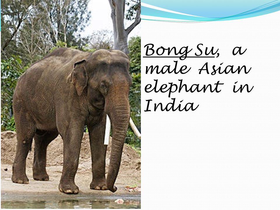 Bong Su, a male Asian elephant in India