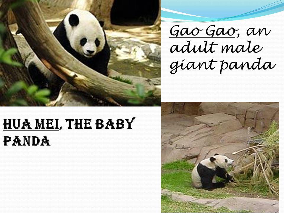 Gao Gao, an adult male giant panda Hua Mei, the baby panda
