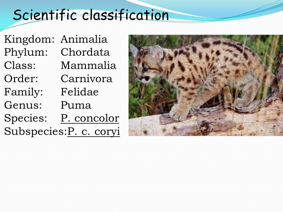 Kingdom:Animalia Phylum:Chordata Class:Mammalia Order:Carnivora Family:Felidae Genus:Puma Species:P. concolor Subspecies:P. c. coryi Scientific classi