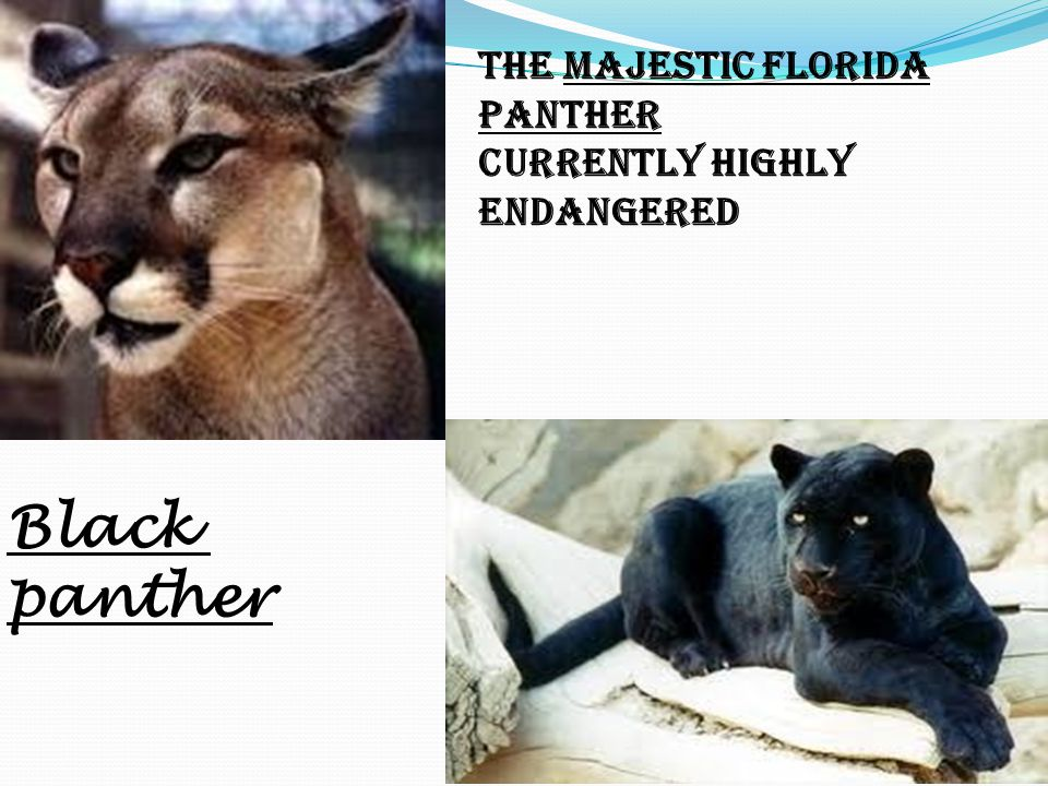 The Majestic Florida Panther Currently Highly Endangered Black panther