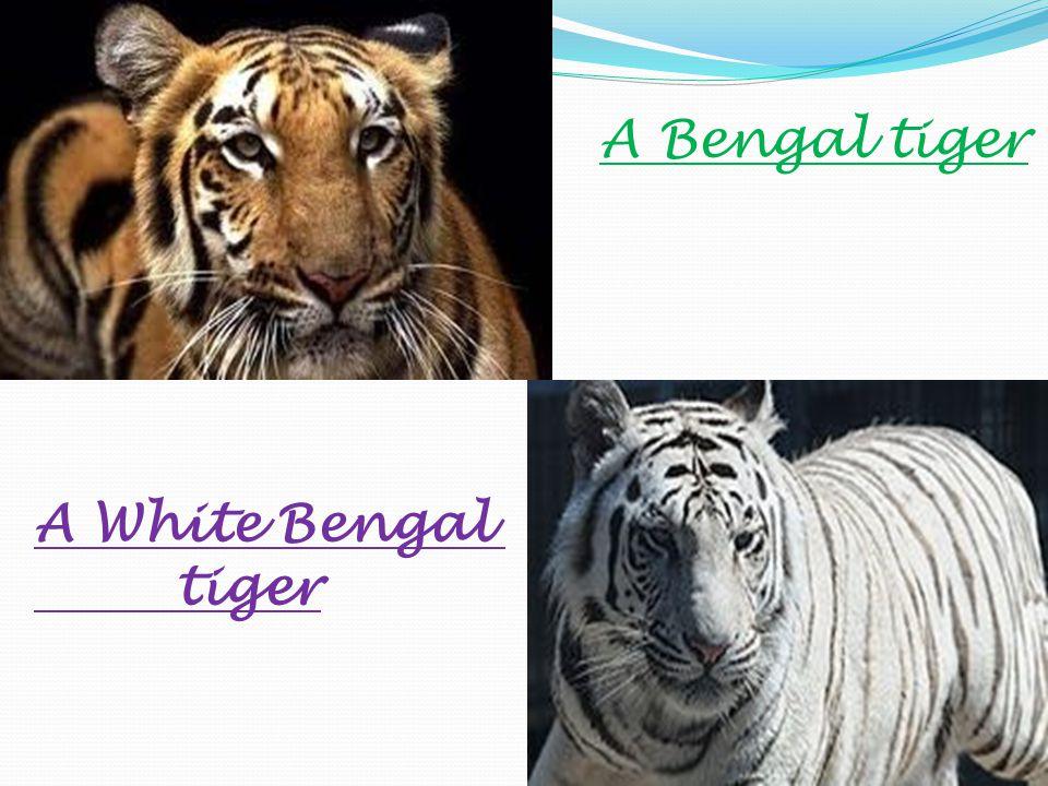 A Bengal tiger A White Bengal tiger
