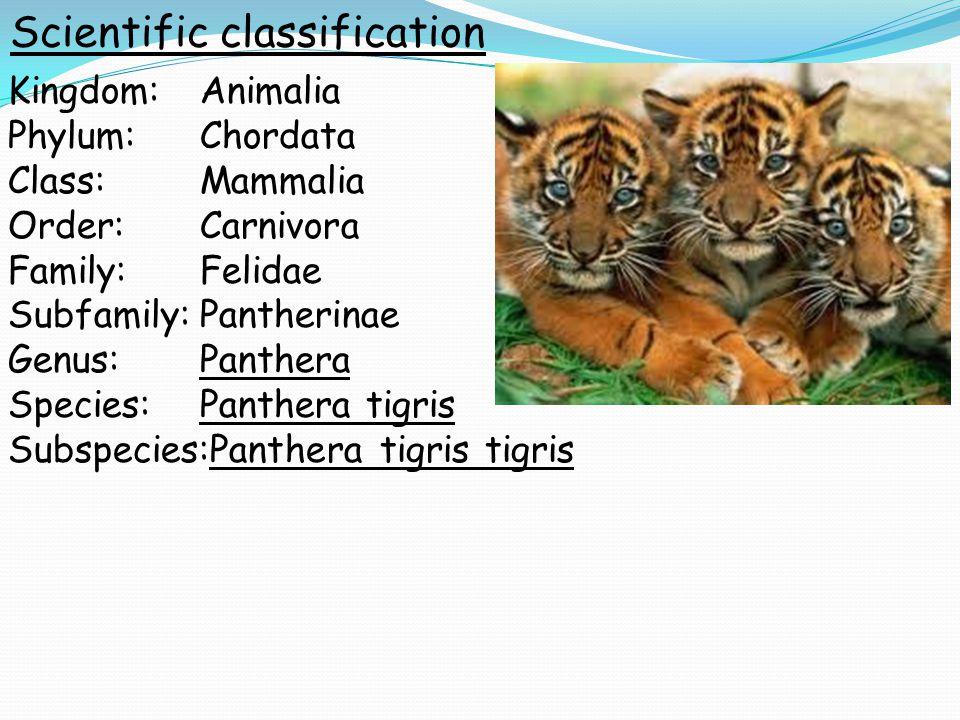 Kingdom:Animalia Phylum:Chordata Class:Mammalia Order:Carnivora Family:Felidae Subfamily:Pantherinae Genus:Panthera Species:Panthera tigris Subspecies