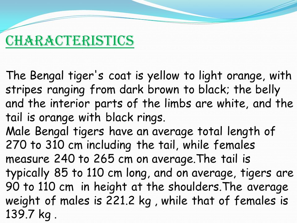 The Bengal tiger's coat is yellow to light orange, with stripes ranging from dark brown to black; the belly and the interior parts of the limbs are wh