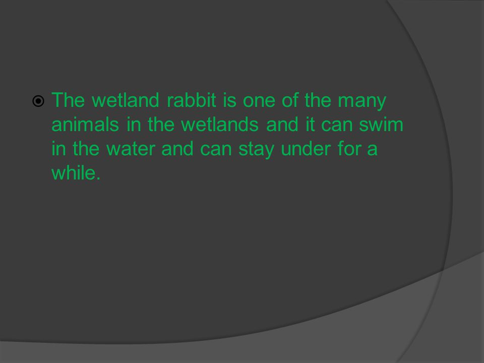  The wetland rabbit is one of the many animals in the wetlands and it can swim in the water and can stay under for a while.