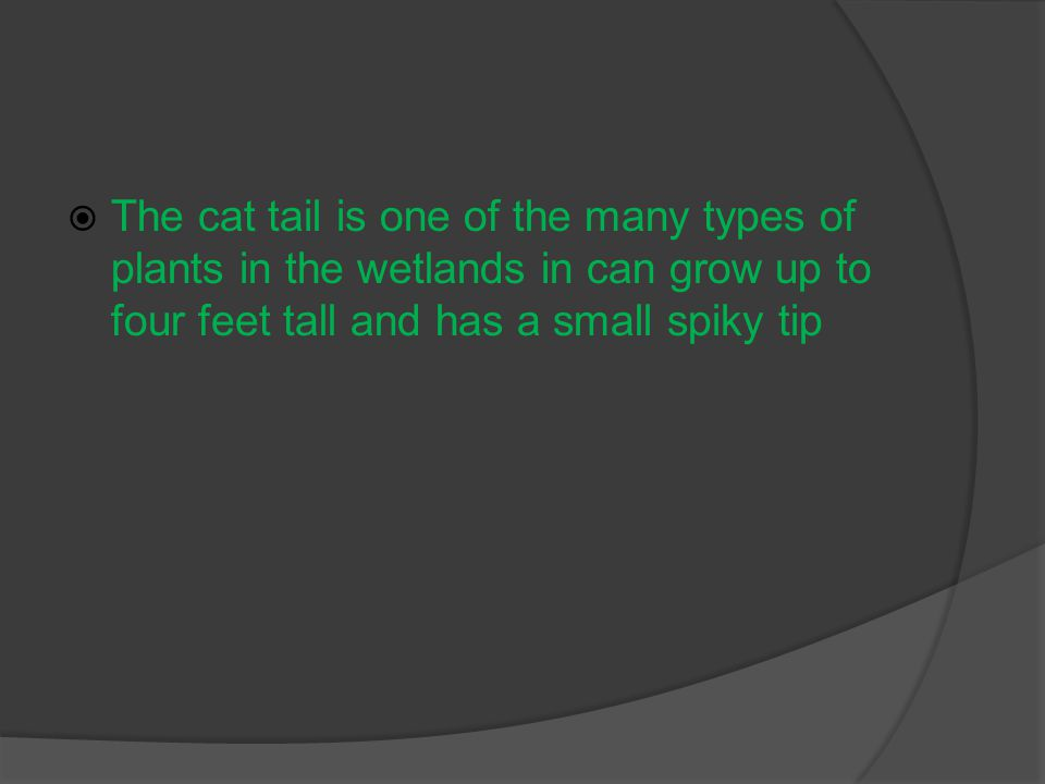  The cat tail is one of the many types of plants in the wetlands in can grow up to four feet tall and has a small spiky tip