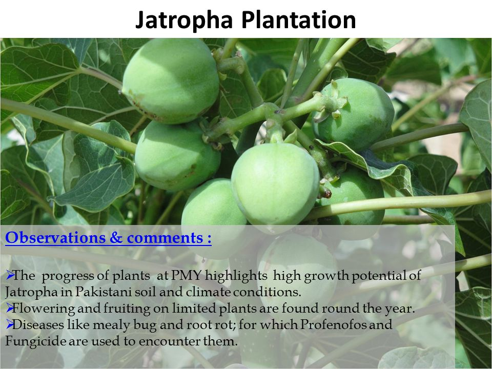 Pakistan State Oil B Jatropha Plantation Observations & comments :  The progress of plants at PMY highlights high growth potential of Jatropha in Pakistani soil and climate conditions.