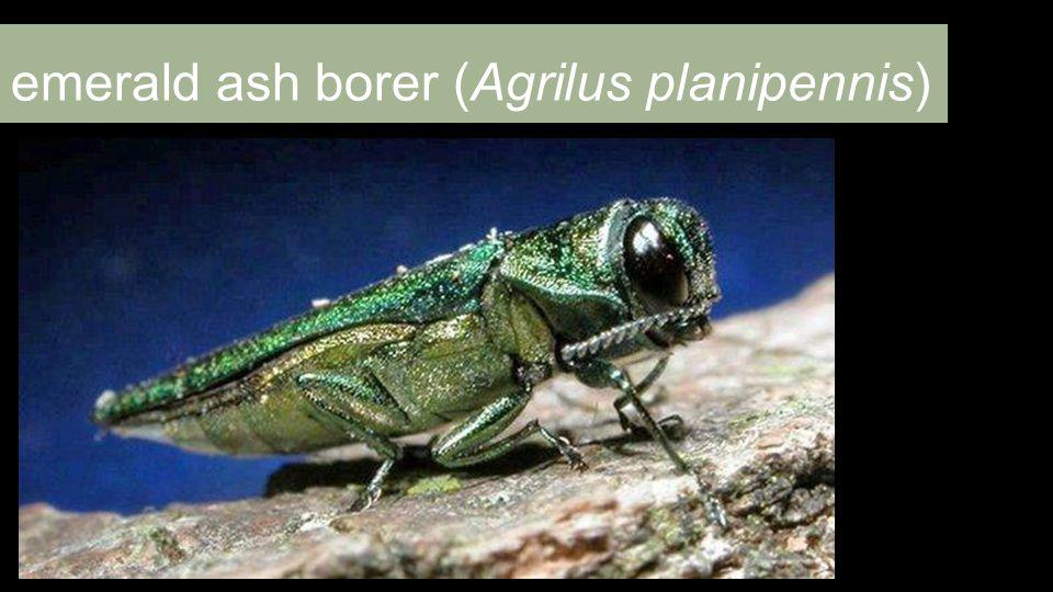 emerald ash borer (Agrilus planipennis)
