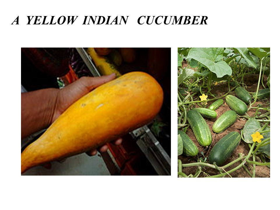 A YELLOW INDIAN CUCUMBER