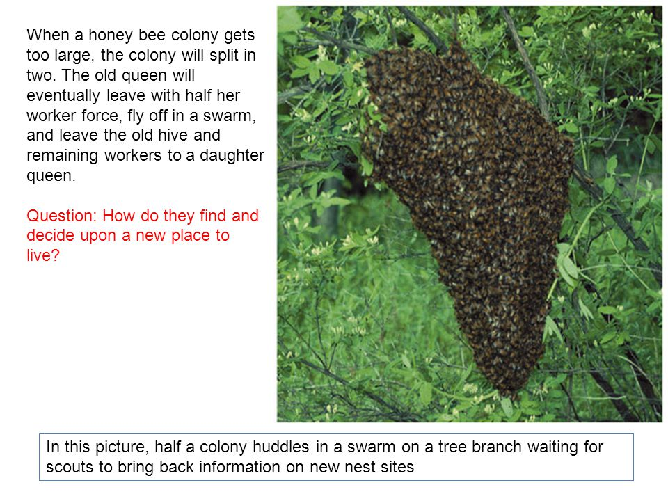 When a honey bee colony gets too large, the colony will split in two.