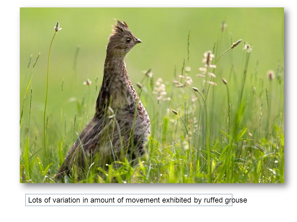 Lots of variation in amount of movement exhibited by ruffed grouse