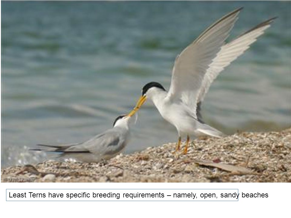 Least Terns have specific breeding requirements – namely, open, sandy beaches