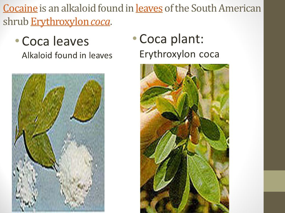 CocaineCocaine is an alkaloid found in leaves of the South American shrub Erythroxylon coca.leavesErythroxylon coca Coca leaves Alkaloid found in leaves Coca plant: Erythroxylon coca