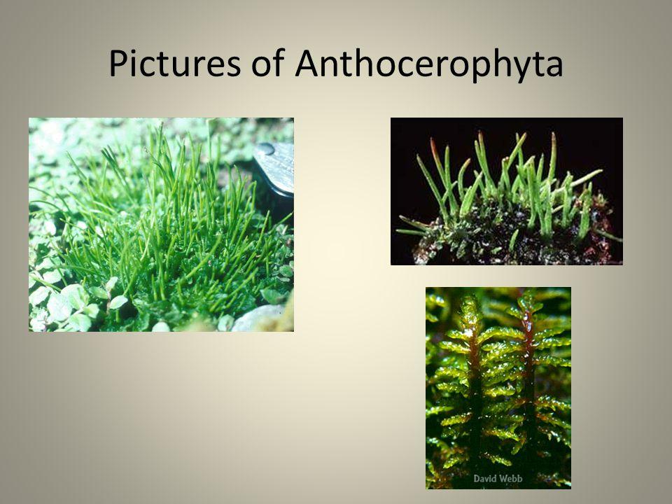 Pictures of Anthocerophyta