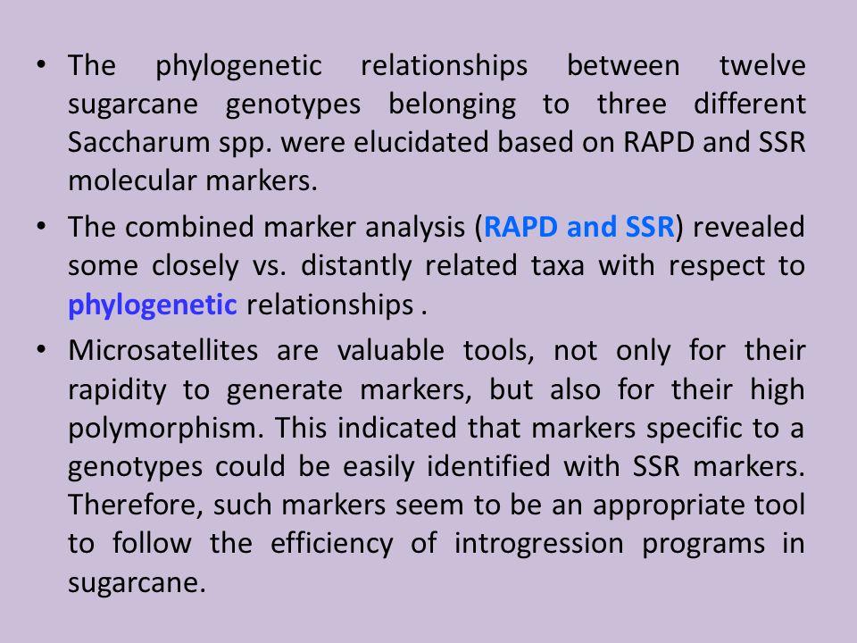 The phylogenetic relationships between twelve sugarcane genotypes belonging to three different Saccharum spp.