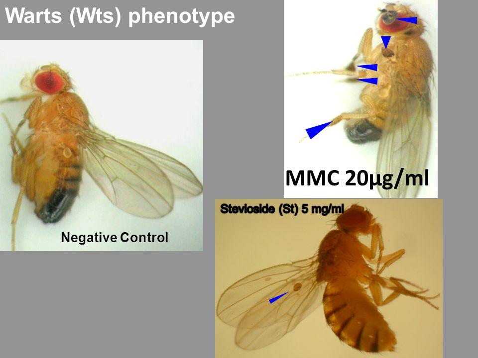 Warts (Wts) phenotype Negative Control MMC 20μg/ml