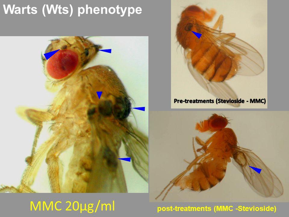 Warts (Wts) phenotype MMC 20μg/ml post-treatments (MMC -Stevioside)