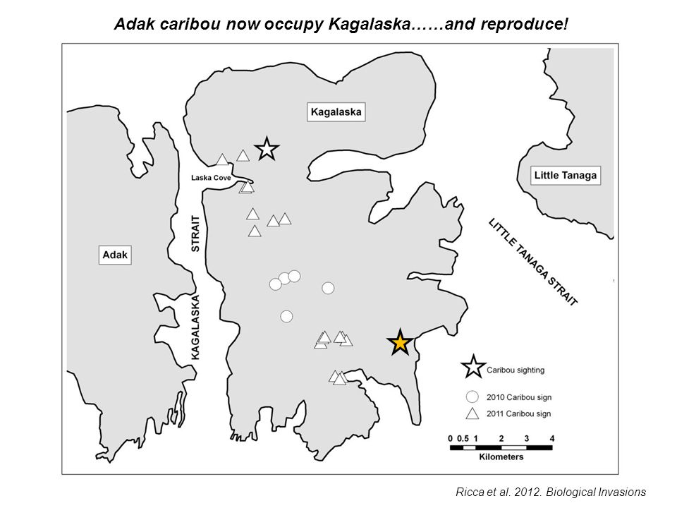 Ricca et al. 2012. Biological Invasions Adak caribou now occupy Kagalaska……and reproduce!